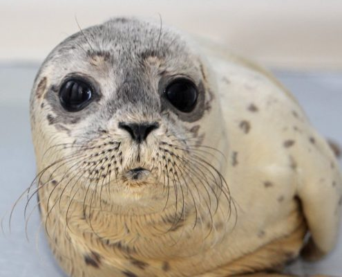 zeehondenpup-frontaal-foto-machteld-geut